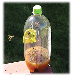 Fatal Funnel Wasp Trap Picture