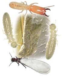 Termites !