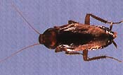 brown cockroach picture