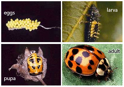 asian lady beetle life cycle