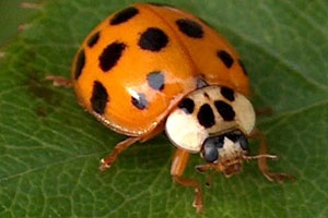 lady bug asian beetle