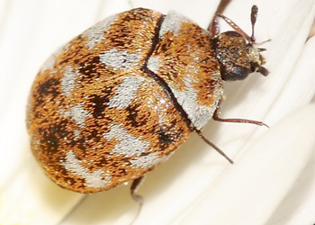 Carpet Beetles - How to Kill and Get Rid of Carpet Beetles