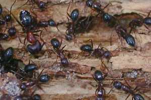 Carpenter Ants And Get Rid Of Wood