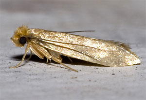 adult clothes moth