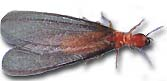 dampwood termite picture