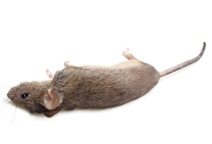 picture of dead mouse