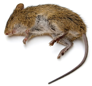 picture of dead rat