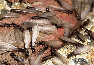 eastern subterreanean termite