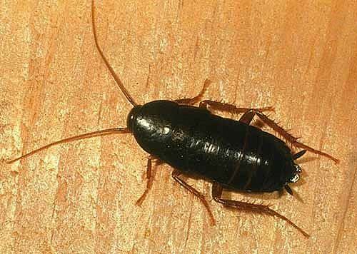 oriental cockroach picture & Cockroaches - How To Kill and Get Of Cockroaches