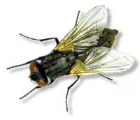 picture of housefly