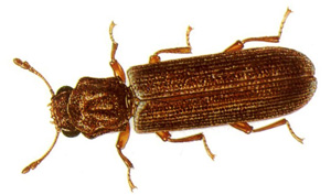 lyctid powder post beetle