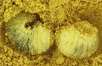 anobiid powder post beetle larvae