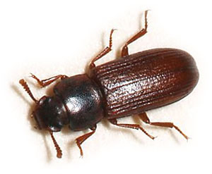 Red Flour Beetles - How To Get Rid of Red Flour Beetles