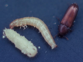 red flour beetle larvae