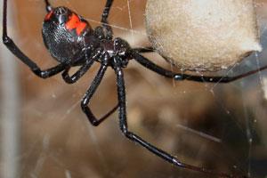 Marvelous Black Widow Spider