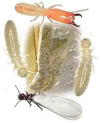 subterreanean termite swarmer soldier worker