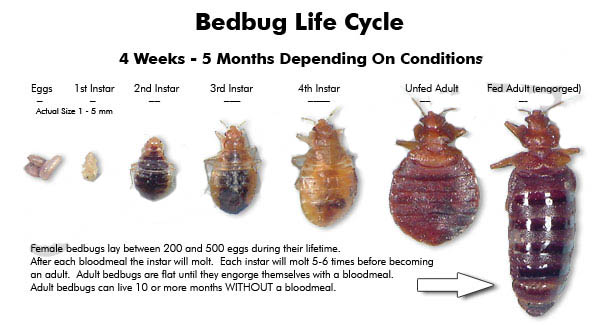 Lice vs Bed Bugs http://www.epestsupply.com/how_to_kill_bedbugs.php