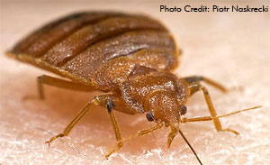 Can T Get Rid Of Bed Bugs With Cimexa