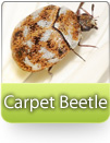 How To Kill Carpet Beetles