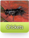 How To Kill Crickets