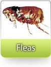 How To Kill Fleas