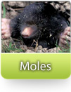How To Kill Moles