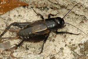 how to kill and get rid of crickets and grasshoppers