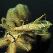 SnowyTree Cricket