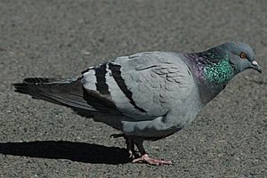 Rock Dove Pigeon
