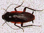smoky brown cockroach picture