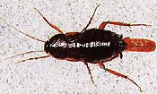 oriental cockroach picture