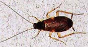 brown banded cockroach picture
